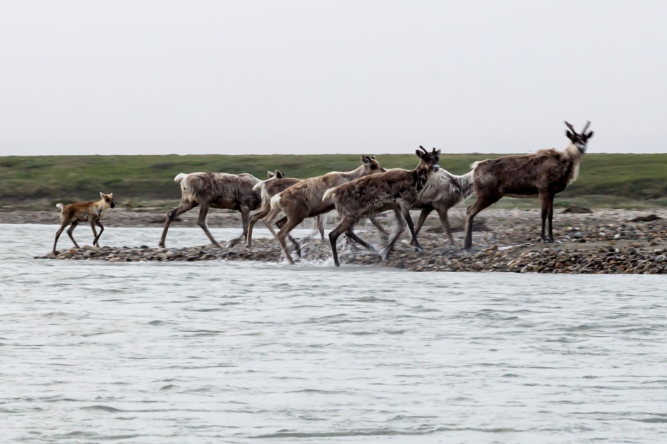 okpilak caribou crossing