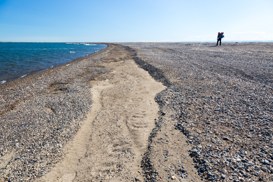 Arey Island Polar Bear tracks